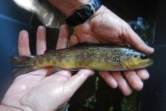 Pêche électrique d'inventaire - Selve (12)